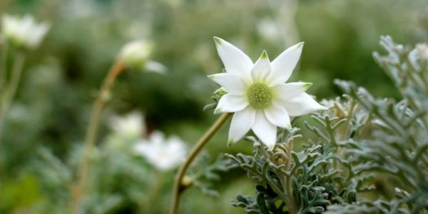 The Flannel Flower Fight for Life